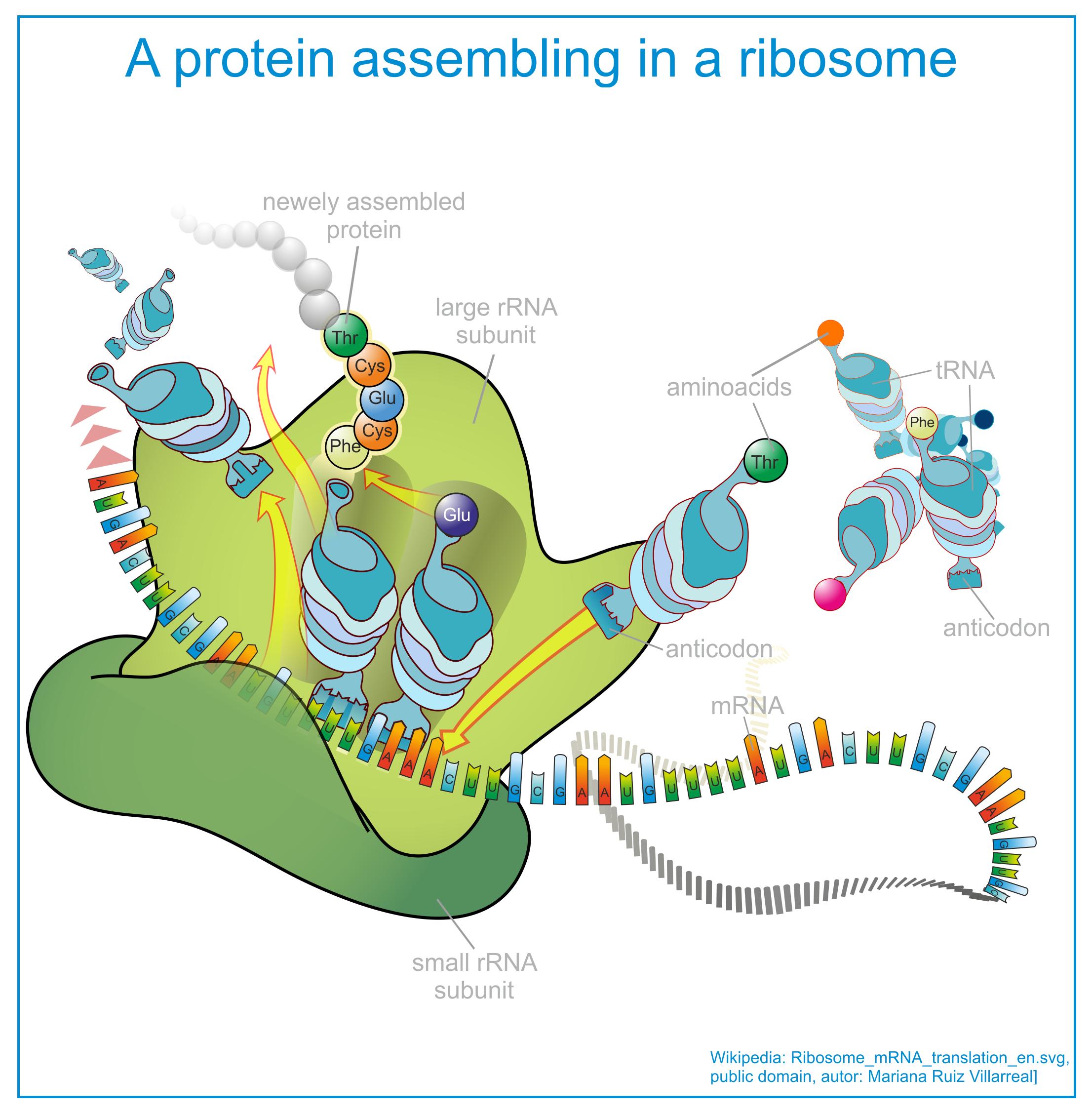 Confirm. dolphin sperm cytoplasmic ribosomes sorry, not